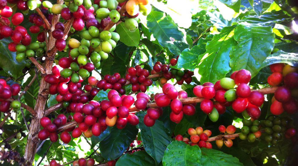 CSR bacche caffè